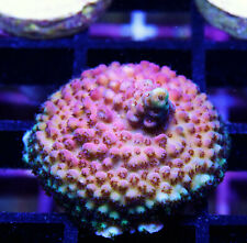 Gwc Superman Acro Acropora Zoanthids Zoa Paly Sps Corals Wysiwyg