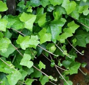 Hedera Helix Green Ivy 6X ROOTED CUTTINGS Climbing TRADITIONAL METHOD TO PLANT
