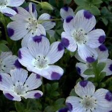Five Spot Flower Seeds - Bulk *