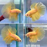Yellow Gold Fancy Big Tail Halfmoon - Live Male Betta Fish - Quality Grade A+++