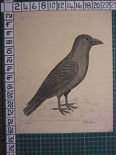 c1735 PRINT THE RAVEN ~ ANTIQUE BIRD PRINT ELEAZER ALBIN ~