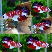 Red Snow Koi Halfmoon Plakat Male - IMPORT LIVE BETTA FISH FROM THAILAND