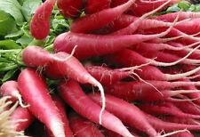 "Red Szechuan China Rose Radish *Heirloom* (300 Seed's) ""FREE SHIPPING"""