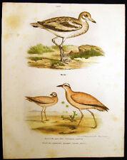 1864 ORIGINAL LITHO STONE PLOVER & CREAM COURSER FITZINGER ORNITHOLOGY