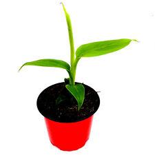 Winterharte Bananen Pflanze Japanische Faserbanane Musa basjoo