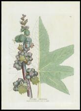 1790 ORIGINAL ANTIQUE PRINT - RICINUS COMMUNIS Castor Bean BOTANICAL (61)