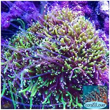 "live coral Two Color Galaxea Neon Green And Purple Tentacle ""coralSlover"""
