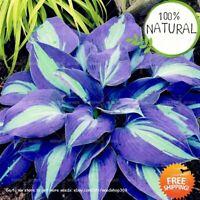 Japanese Hosta Bonsai Seeds Plants Perennials Ain Lily Beautiful 200pcs/pack