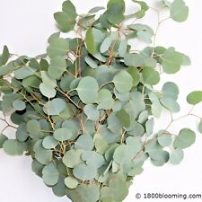 Silver Dollar Eucalyptus, Fresh Cut - Wholesale / Diy / Wedding - Fresh Greenery