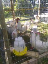 18 White leghorn hatching eggs
