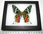 REAL FRAMED MOTH BUTTERFLY MADAGASCAR SUNSET MOTH URANIA RIPHEUS VERSO