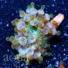 New listing Asd - 079 Elven Wizard Bubble Anemone - Wysiwyg - Aqua Sd Live Coral Frag