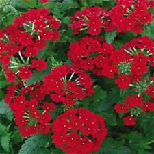 Verbena- Scarlet- 50 Seeds- Bogo 50% off Sale