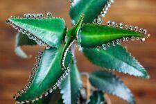 2 Medicinal Herbs-Mother of Thousand, Kalanchoe Daigremontiana(organicly grown)