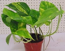 Partial Shade Temperate Climate Medium Watering House Plants
