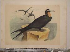 1895 Antique Studer Bird Print Black Water Bird Plate XLIII