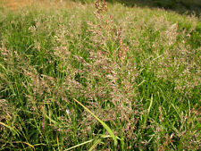 10000 Seeds - Ornamental Grass - Calamagrostis canadensis -  Bluejoint Reedgrass
