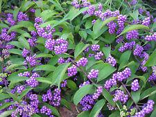 "Beauty Berry Shrub 'Early Amethyst"" Purple Neon Berries Callicarpa Dichotoma"