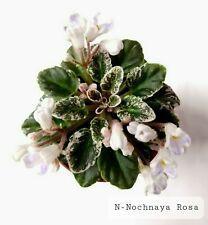 African Violet N-Nochnaya Rosa (Night Rose) - Starter Plant/Plug