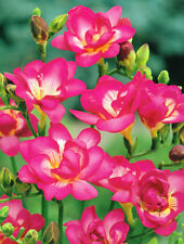 Bulb Freesia Double Pink Hybrida Flowers (not seeds) Perennial Flowering Garden