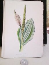 Vintage Print,BROAD LEAVED PLANT,Familiar Garden Flowers,Hulme