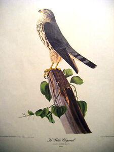 "J.J.Audubon print Le Petit Caporal Falco Temerarius(Male) Havell Eng15-3/4"" x12"""