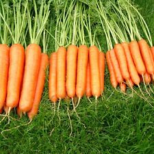 Liveseeds - Carrot  'Sweet Candle - 400 seeds