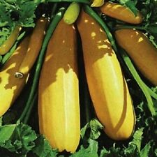 F1  Courgette Atena, Yellow Courgette  15 seed