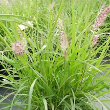 Siergras/Graminée Pennisetum orientale 1 plant