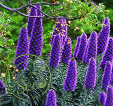Seeds Pride Madeira Echium Fastuosum Purple Garden Home Flowers Plants 100 Pcs