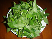 Ultra Rare seeds * Kalimeris indica - a delicacy (馬蘭頭)* » 10 fresh seeds *
