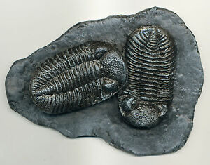 WELL DETAILED PHACOPS TRILOBITE PAIR