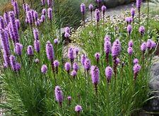 ca. 150+ Samen Liatris spicata - Prachtscharte