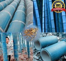 200++Fresh Rare Blue Bamboo Seeds, Decorative Garden Discounts!looking wonderful