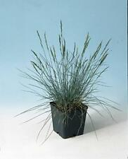 Ornamental Grass Seed - Festuca Fescue Glauca Blue Fescue Seeds