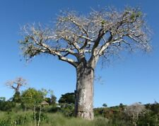 Adansonia digitata Baobab Tree Seeds!