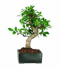 Golden Gate Ficus Bonsai Tree Tropical Live Plant Beauty Indoor 7 years old