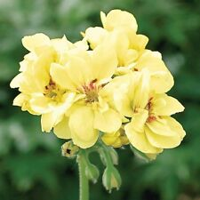 10pcs Rare Geranium Seeds Custard Cream Pelargonium Perennial Flower Seeds