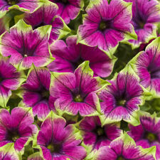 50 Pink Green Petunia Seeds Containers Hanging Baskets Flowers Annual Seed 972