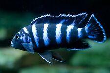 Four Fish colony Demasoni Cichlid, Pseudotropheus 1.5 inch  African cichlid
