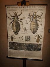 1 x Fleckfieber: Die Kleiderlaus, alte Lehrtafel / Rollkarte (1520) gebraucht