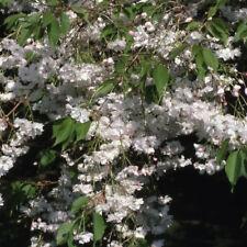 Prunus Blushing Bride 12 litre Pot  Standard Feathered Tree
