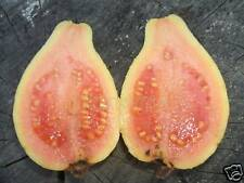 10 FRESH TROPICAL THAI RUBY GUAVA SEEDS