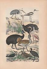 Strauß Kausar Kiebitz Flamingo Schnepfe Graureiher LITHOGRAPHIE von 1880