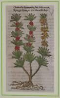 JOHN GERARD ORIG BOTANICA MATTHIOLI 1597 FIOR DI STECCO