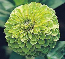 Zinnia Green Envy dahlia flowered - Appx 250 seeds - Annuals