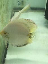 White High Body Butterfly Discus Fish Pair