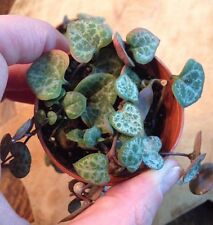 """ROSARY VINE (CEROPEGIA-WOODII) STRING OF HEARTS - 2 1/4"""" POT"""