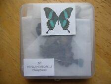 Papilio daedalus (Papilionidae)