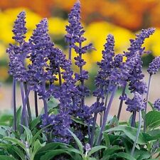 Flower Seeds SALVIA Farinacea 'Victoria Blue' Bright Blue Flower Spikes-20 Seeds